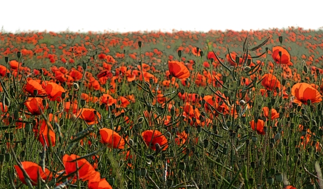 Poppies_Growing_on_the_Marne_Battlefield_near_Villeroy_and_Chauconin_France_-_panoramio