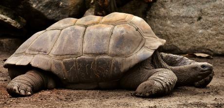 giant-tortoises-3315158_1920