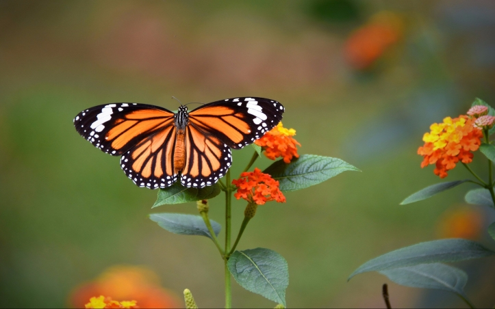 tiger-tiger-butterfly-4166224_1920.jpg