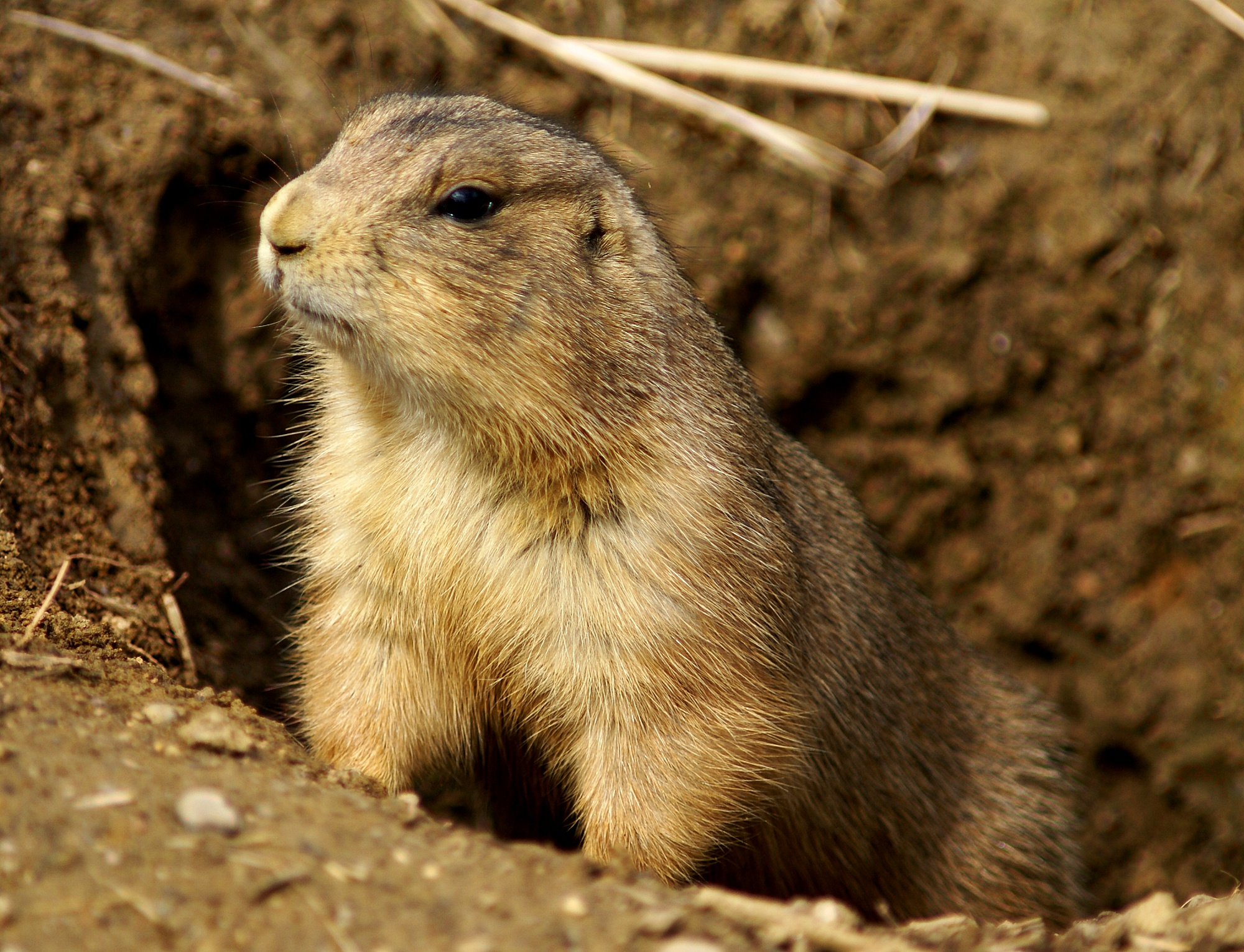 Prairie_Dog_Washington_DC_1